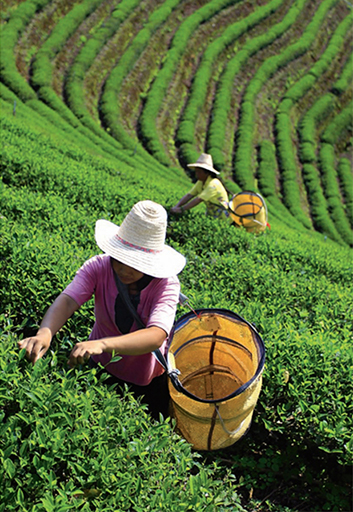 Tea is an important crop throughout Asia. Above, tea leaves are harvested on a plantation in China.