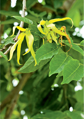 Ylang-ylang - the aroma of this herb's essential oil can vary from floral to fruity.