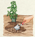 STEP 1: To transplant herbs such as basil, dig a hole deeper and wider than the size of the seedling's container