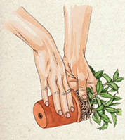 STEP 1: To prune the roots of herbs such as mint, first gently remove the plant from its container