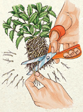 STEP 3: Use a pair of sharp scissors to neaten any straggling roots. Do not cut too deeply into the rootball