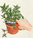 STEP 4: Return the herb to the pot. Snip off older, leggy stems above the soil to encourage new, healthy growth