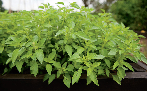 Basil and many other herbs thrive in the loose, well-drained soil of a raised bed