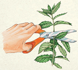 To harvest the leaves of herbs, including mint, cut the plant in the middle of its stem, just above a set of leaves