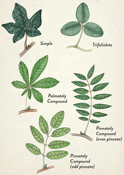 Learning the kinds of leaf complexity can help you identify the plant.