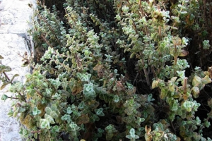 Arabic herbs