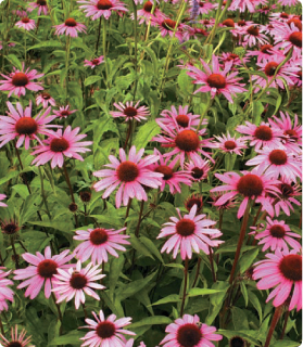 A field of echinacea can provide a wealth of immune-boosting remedies