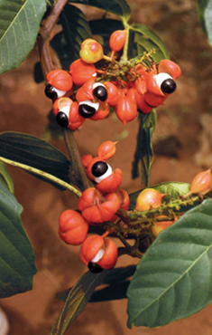 A tropical rainforest plant, guarana requires warm to hot conditions, high humidity, and acidic soil.