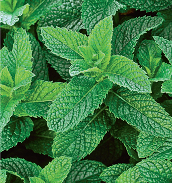 Many mints, including spearmint (Mentha spicata), aid digestion.