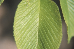 Slippery Elm leaf